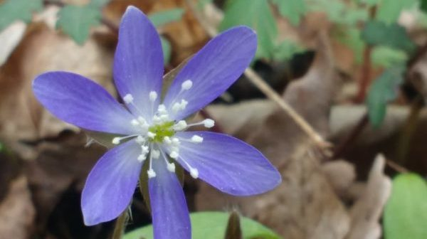 Closeup photo of blue hepatica wildflower